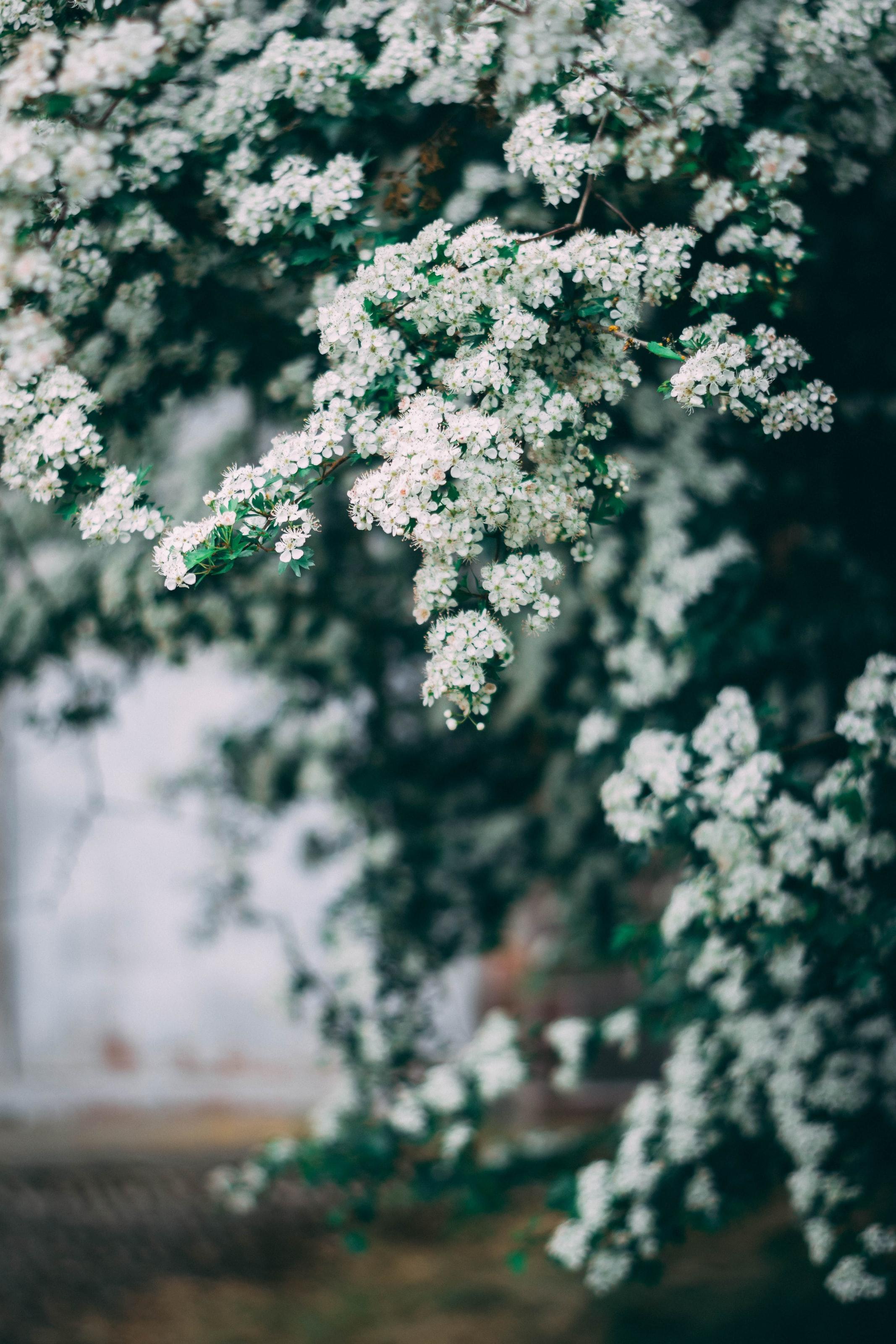 Bilde av en busk som blomstrer med små, hvite blomster