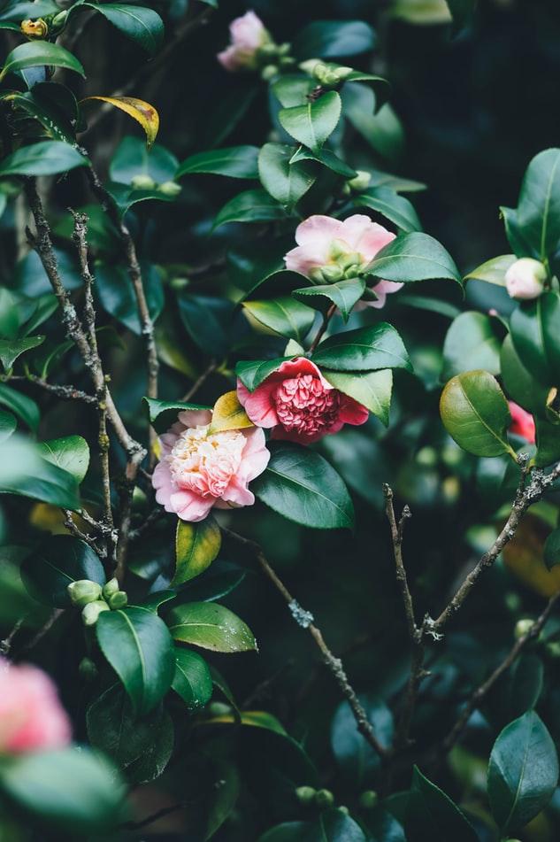 Nærbilde av blomsterbusk med mange grønne blader